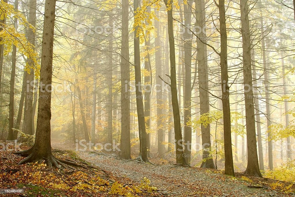 Trail through a misty autumn woods royalty-free stock photo