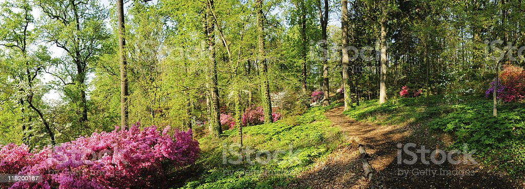 Trail through azaleas- Panoramic stock photo
