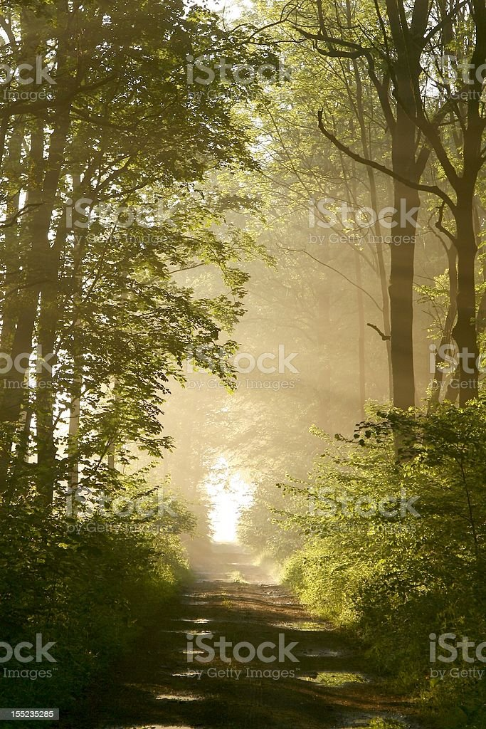 Trail through misty forest at sunrise royalty-free stock photo