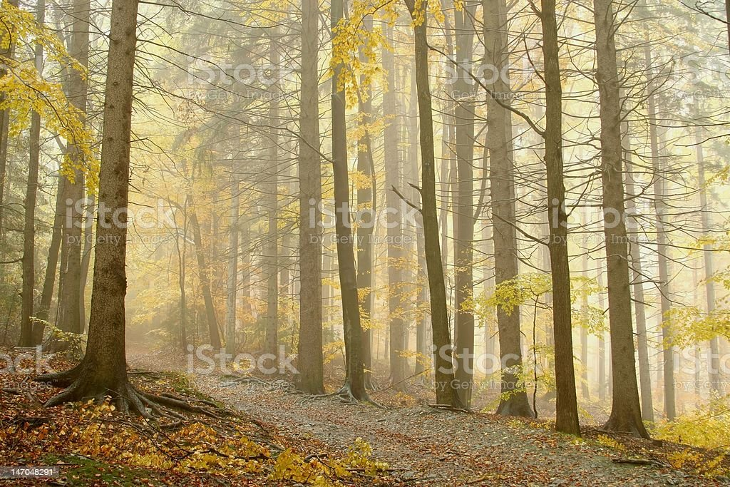 Trail through misty forest royalty-free stock photo