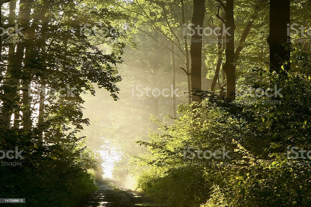 Trail through the forest at dawn royalty-free stock photo