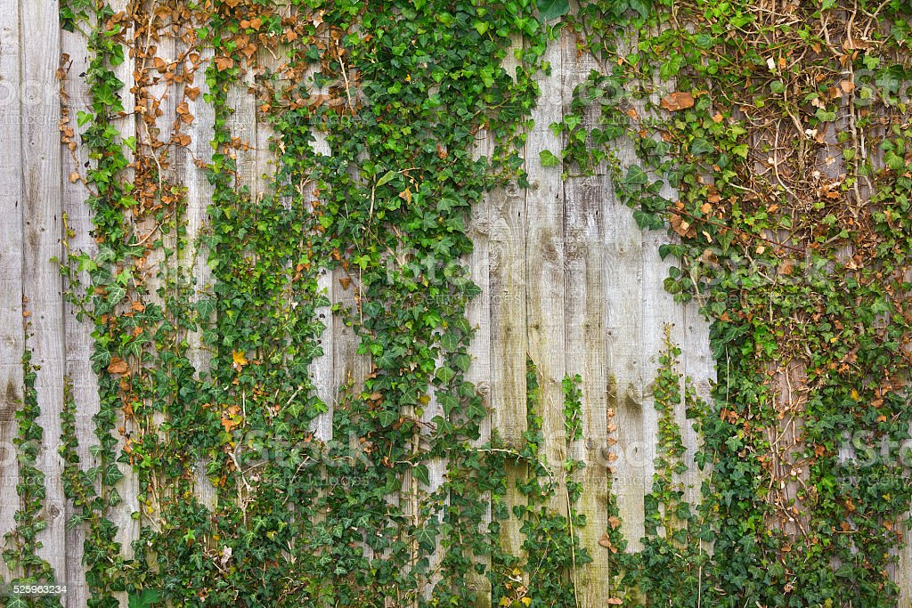 Trailing ivy climbing along a wooden fence stock photo