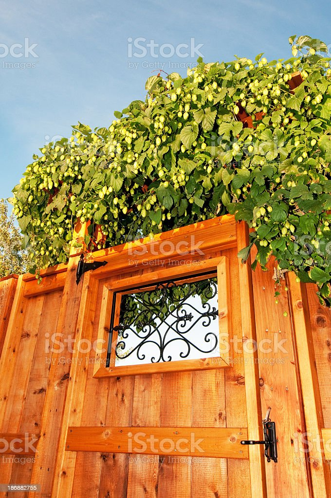 Trailing vine grows over garden gate stock photo