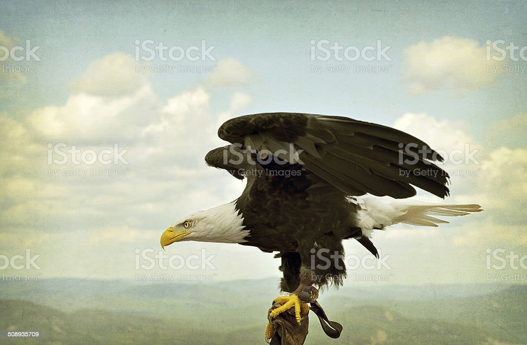 Trained Bald Eagle, Textured. stock photo