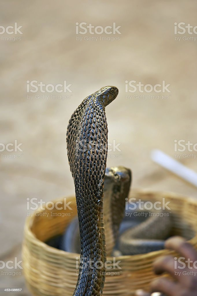 Trained cobra royalty-free stock photo
