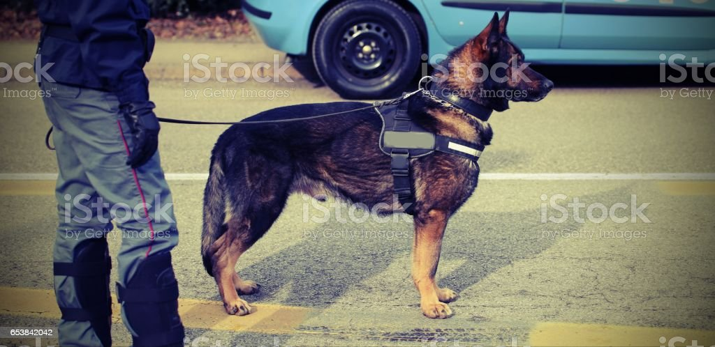 trained police dog during surveillance along the streets of the stock photo