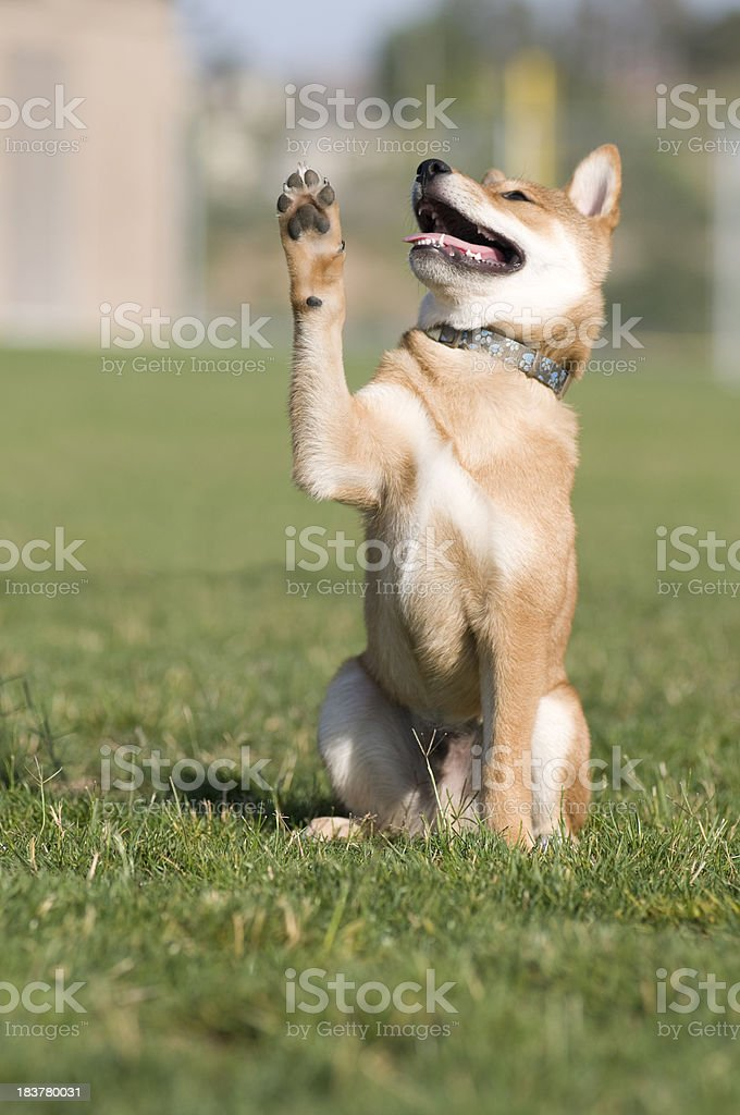 Trained Puppy Giving High Five stock photo