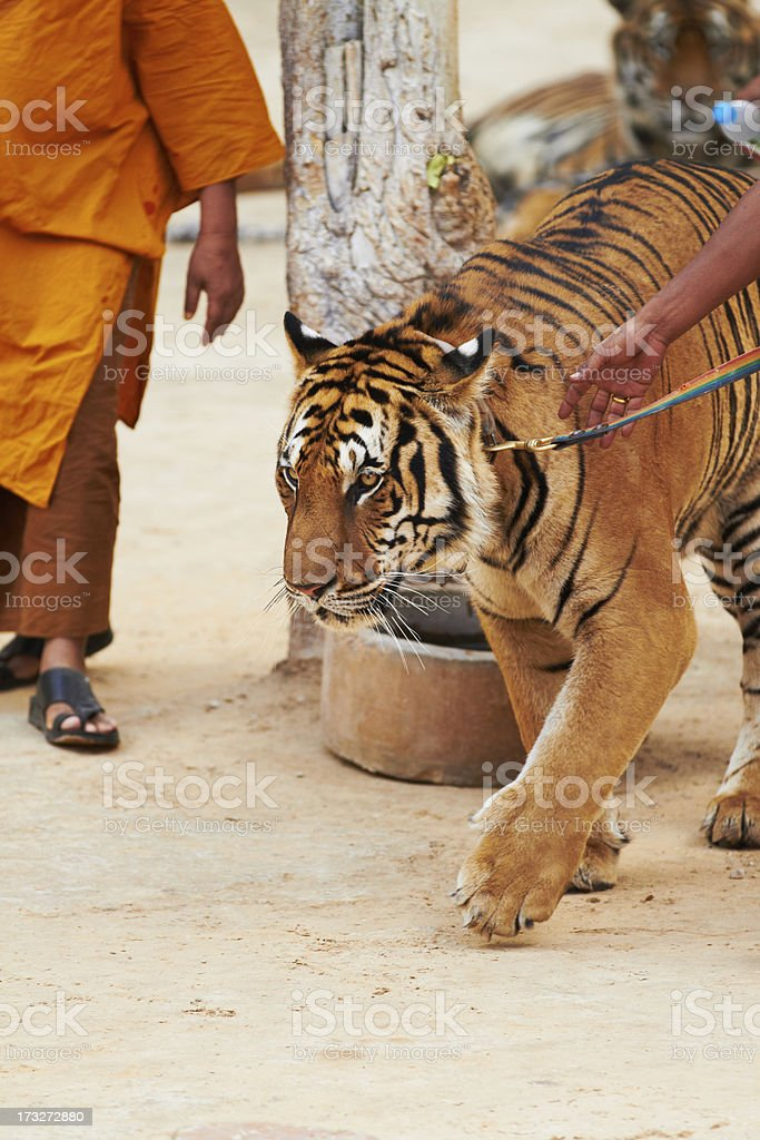 Trainer leading tiger by a leash royalty-free stock photo