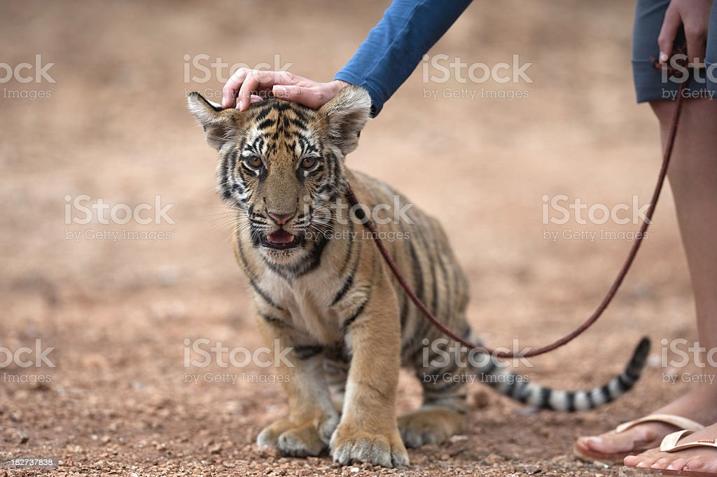 trainer stroking a tiger cub stock photo