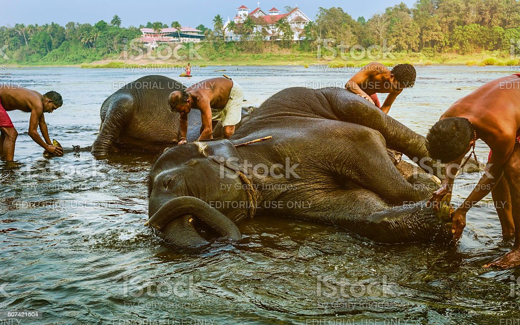 Trainers bathe young elephants in river, Kerala, India. stock photo