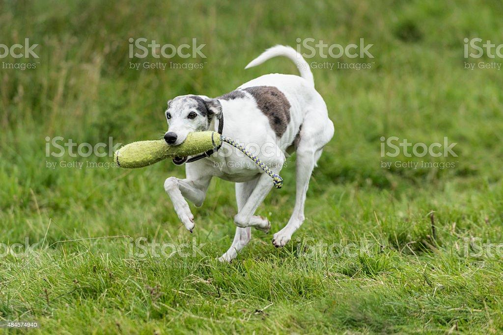Training a Lurcher stock photo