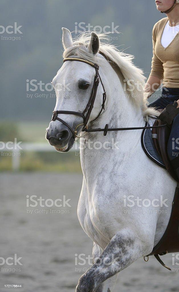 Training a white horse royalty-free stock photo