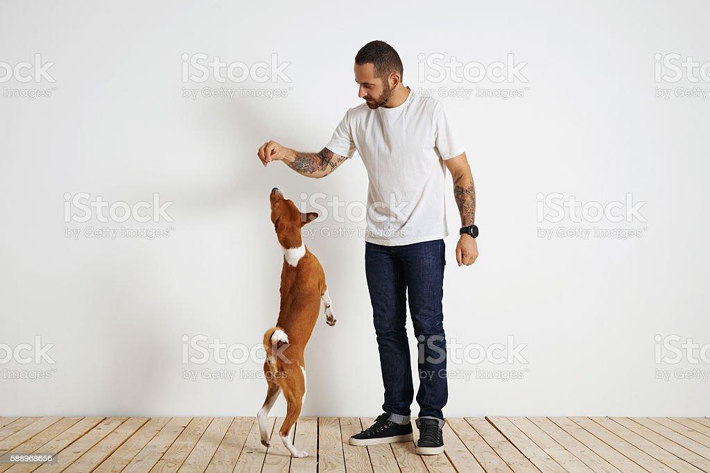 Training basenji dog at home stock photo