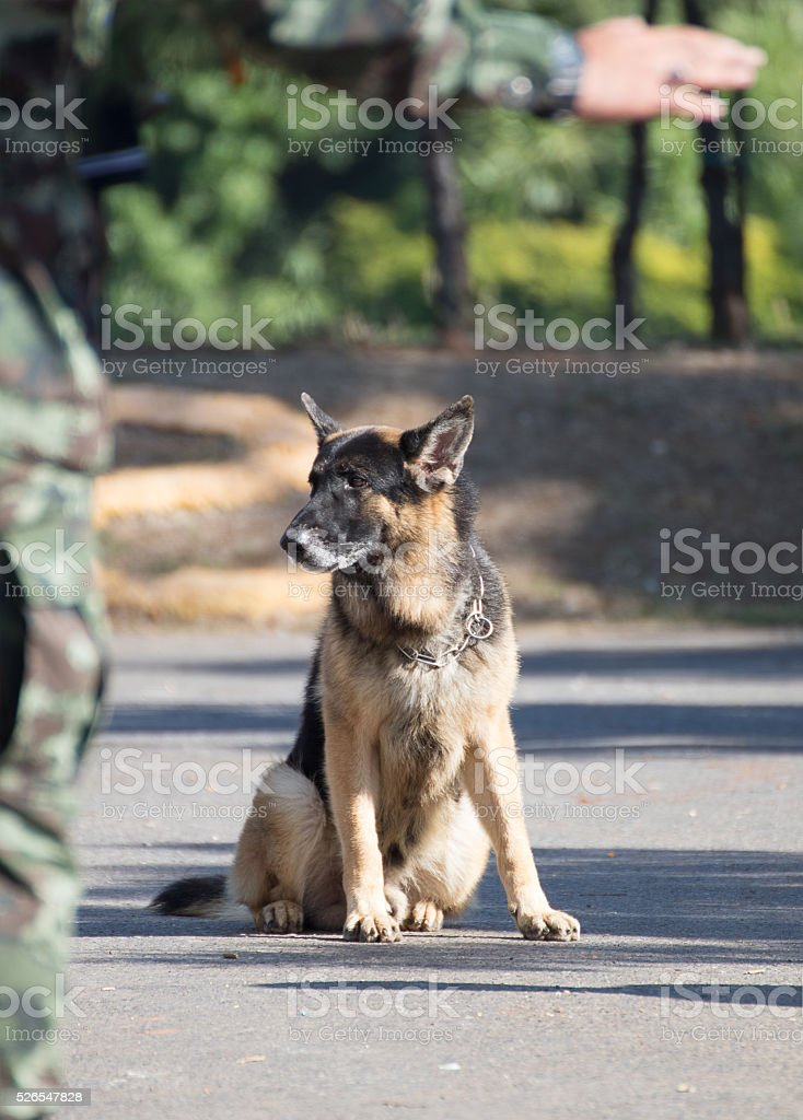 Training dogs of war stock photo