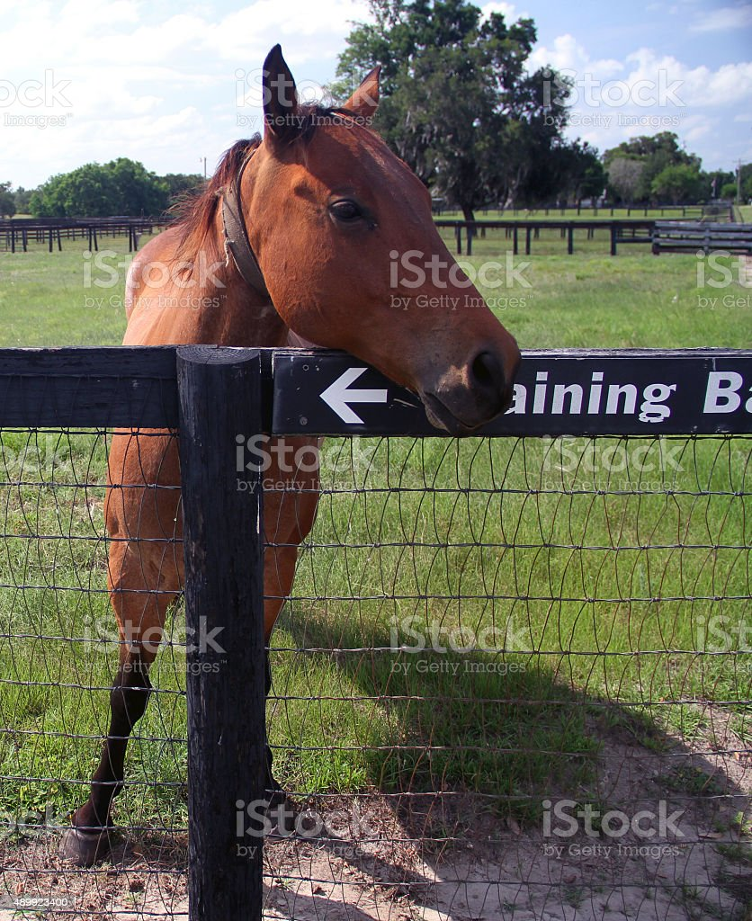 Training hourse is waiting for the trainer behind the fences stock photo