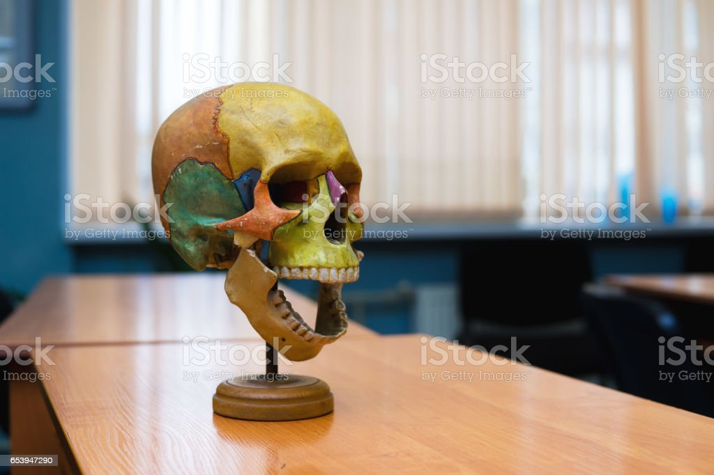 training the human skull on the table. stock photo