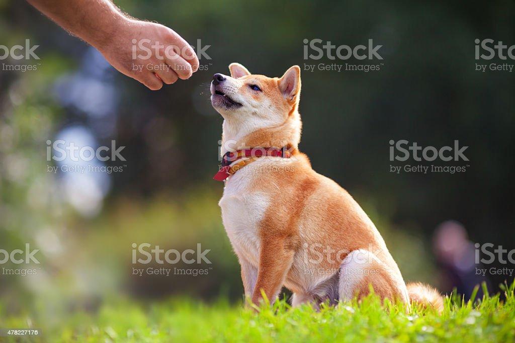 Training with dog stock photo