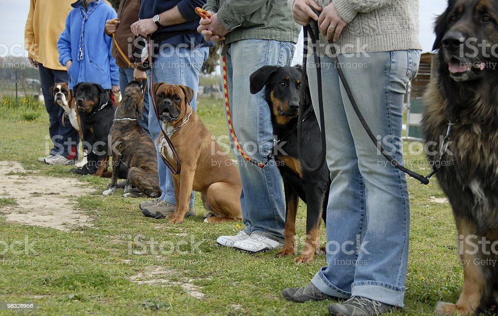 training with dogs stock photo