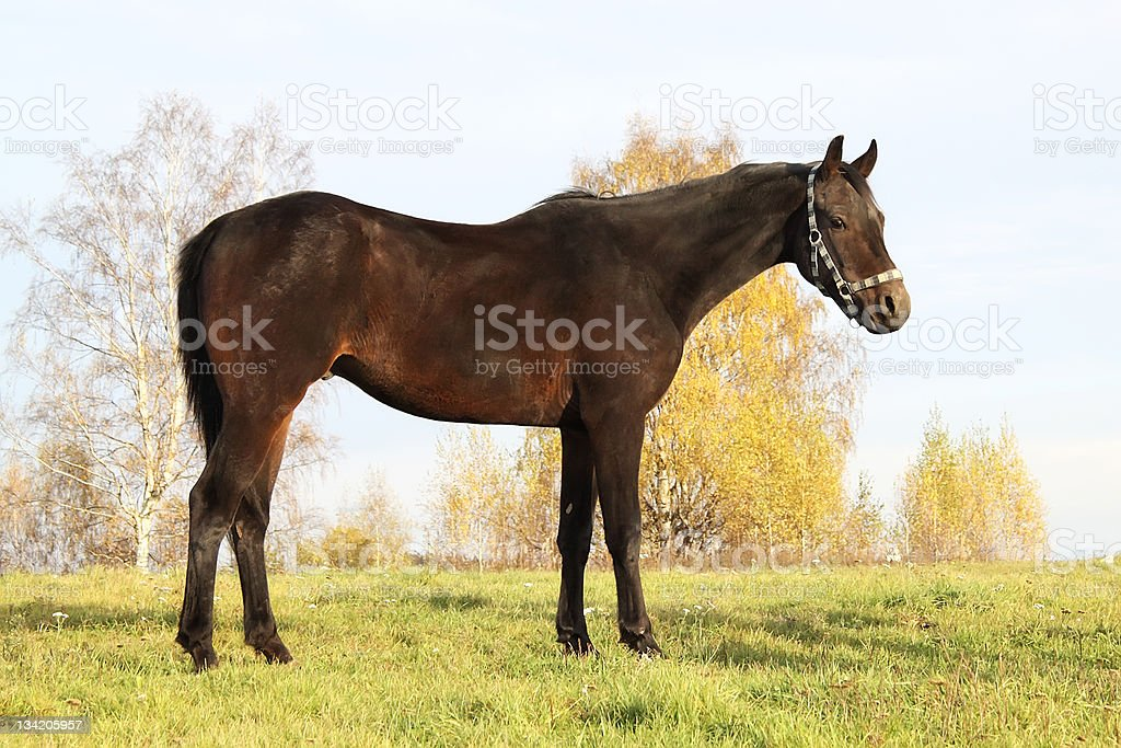 Trakehner horse royalty-free stock photo