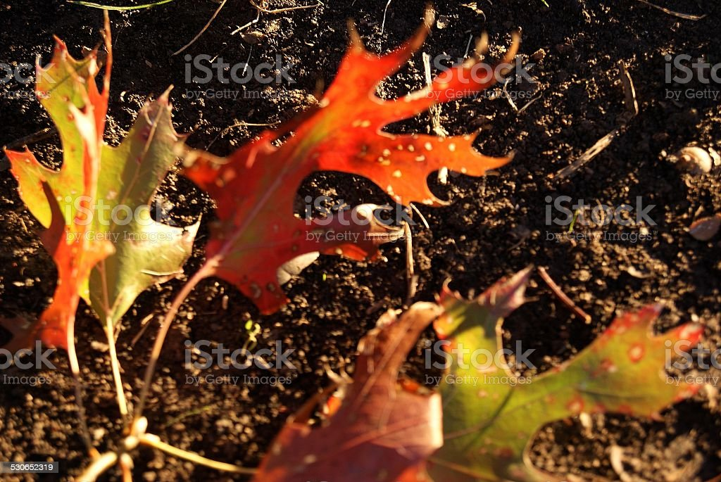 Trampled Leaves royalty-free stock photo