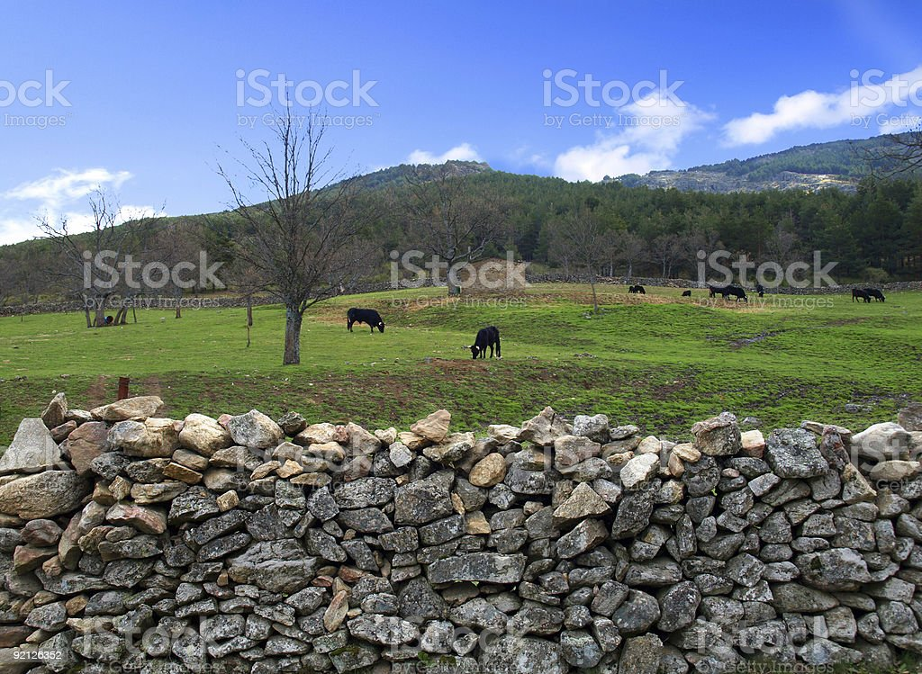 Tranquil Bulls royalty-free stock photo