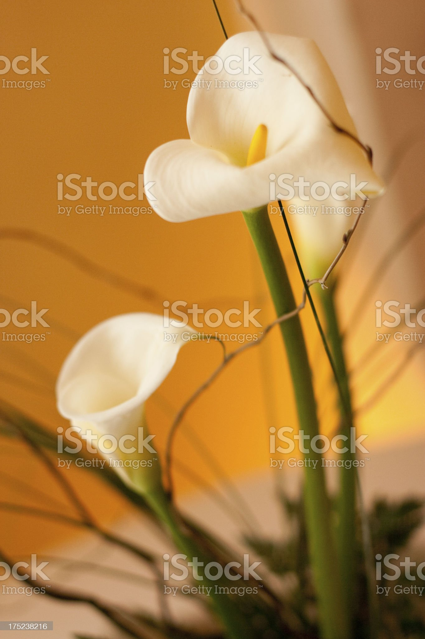 Tranquil Calla Lily Floral Arrangement royalty-free stock photo