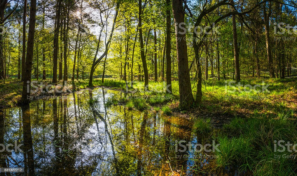 Tranquil pond deep in green forest idyllic summer woods panorama stock photo