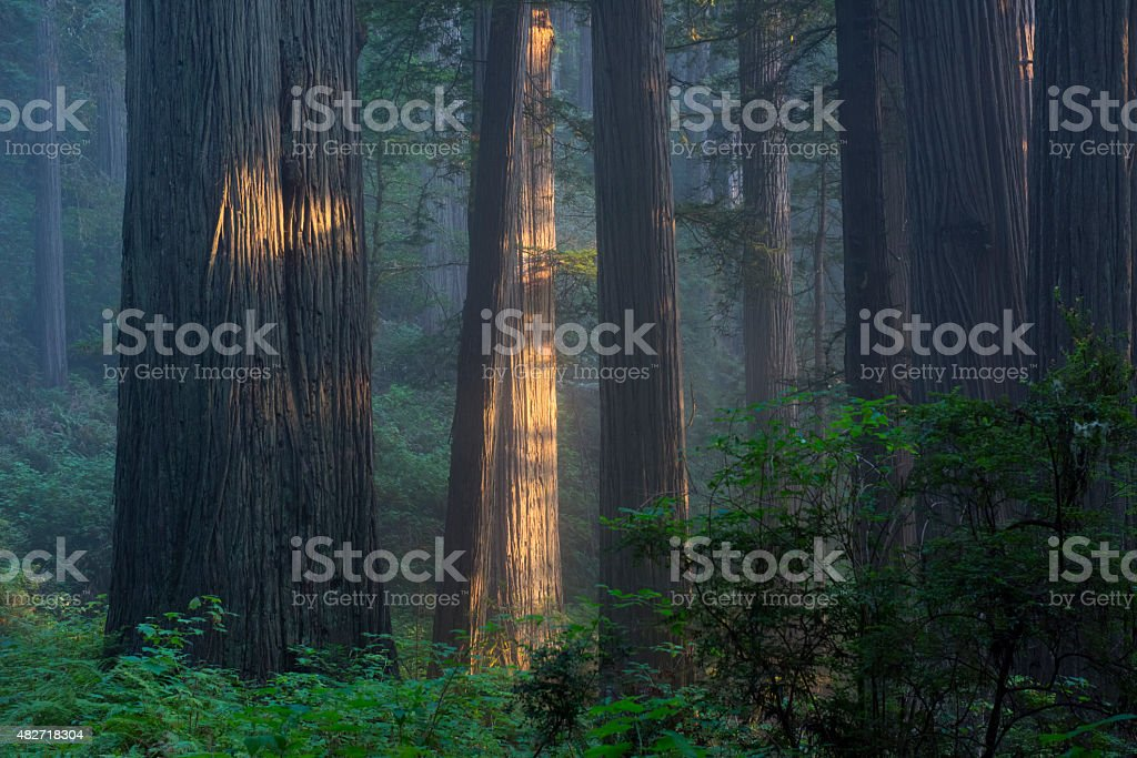 Tranquil redwood forest stock photo