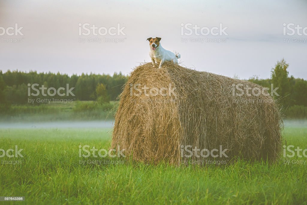 Tranquil scene: mist and dog on hay stack at twilight stock photo