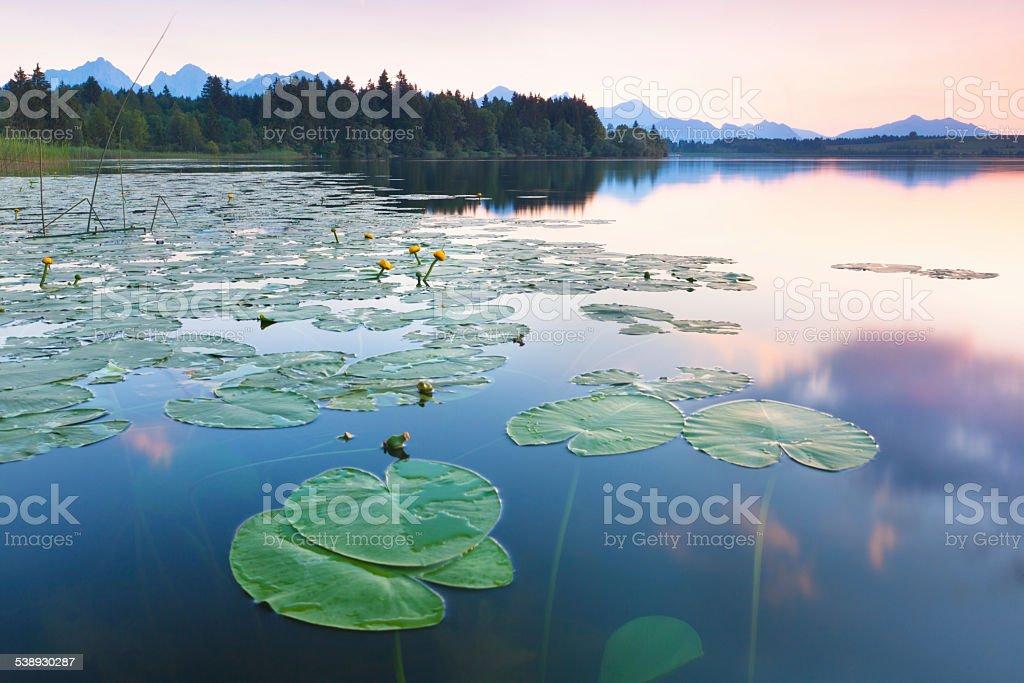 tranquil sunset at lake bannwaldsee, bavaria - germany, water lily stock photo