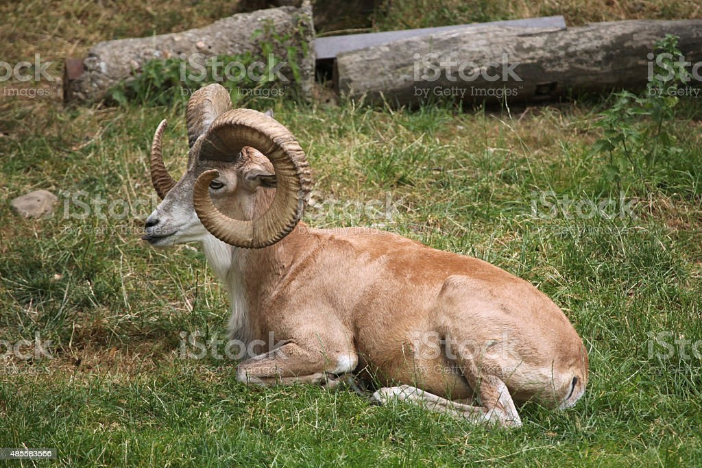 Transcaspian urial (Ovis orientalis arkal). stock photo