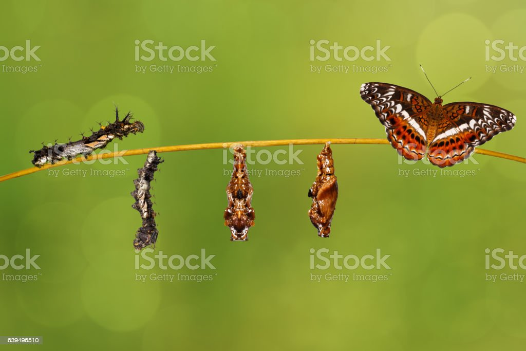 Transformation caterpillar to pupa of commander butterfly stock photo