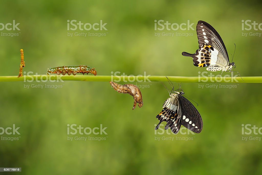 Transformation life cycle of banded swallowtail butterfly (Papil stock photo