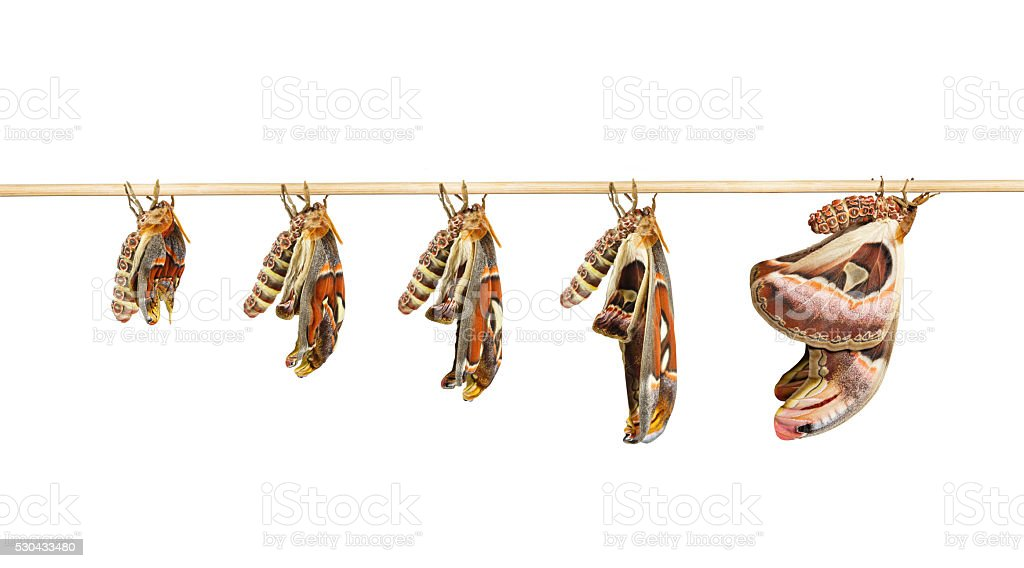 Transformation of attacus atlas moth on white stock photo