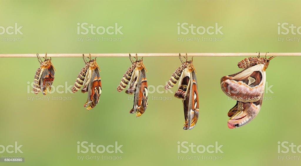 Transformation of attacus atlas moth stock photo