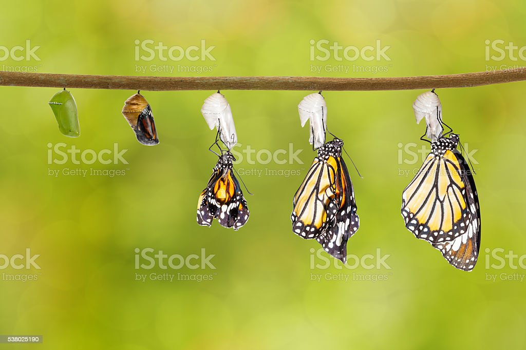 Transformation of common tiger butterfly emerging from cocoon stock photo