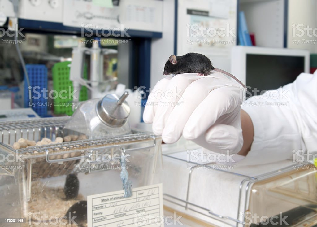 Transgenic mouse in modern laboratory stock photo