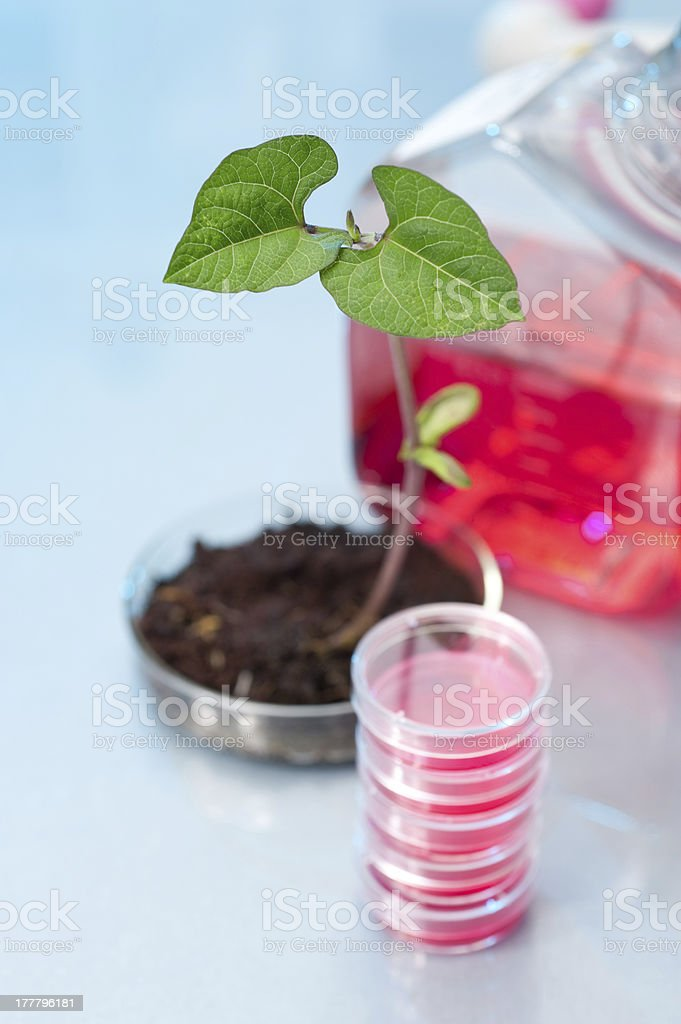 Transgenic plant in plastic dish royalty-free stock photo