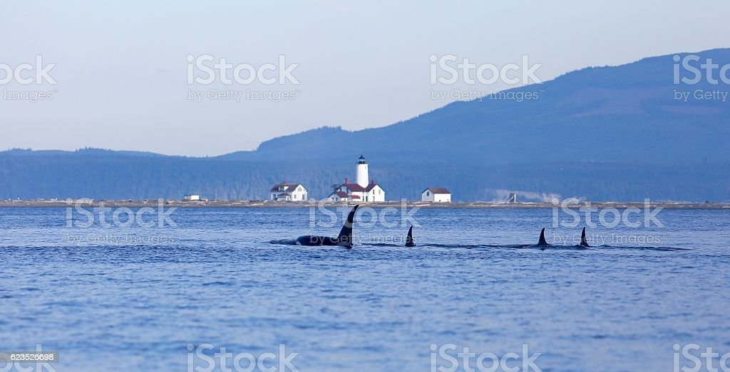Transient killer whales off Dungeness spit stock photo