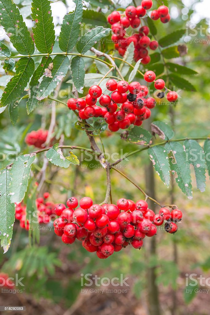 Transitory beauty of rowan berries in autumn stock photo