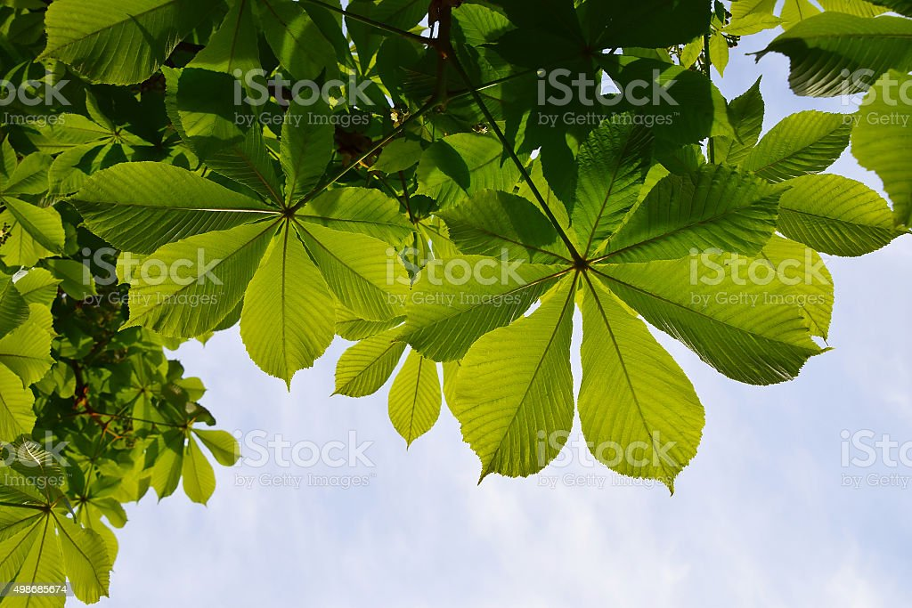 Translucent and green horse chestnut leaves in back lighting on royalty-free stock photo