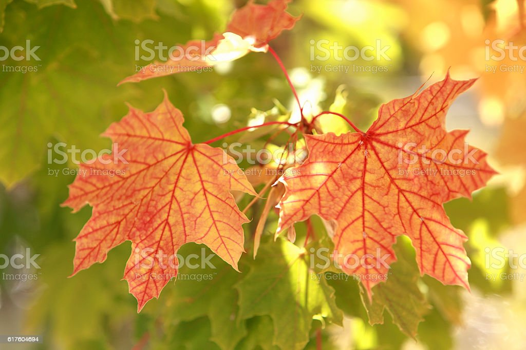 Translucent Beauty Of The Maple Leaf In Fall stock photo