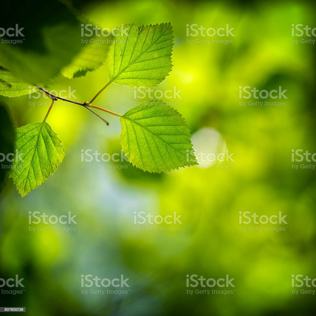 Translucent Birch tree leaf stock photo