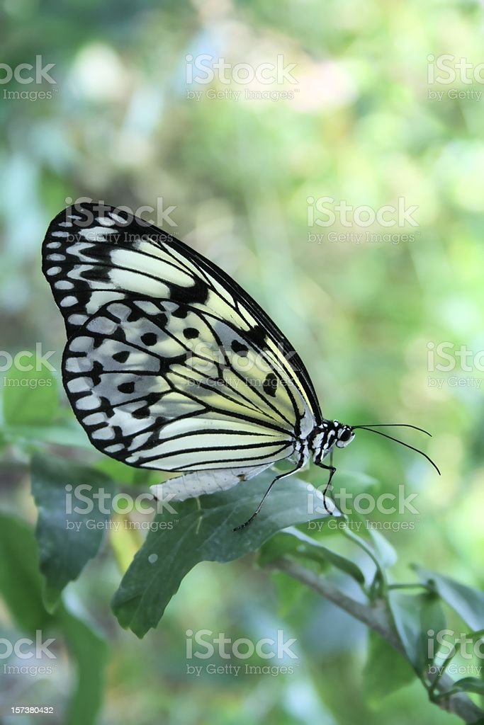 Translucent Butterfly stock photo