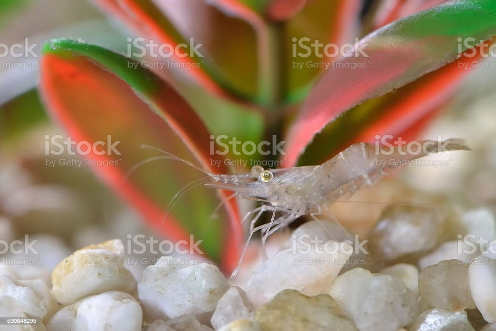 translucent shrimp stock photo