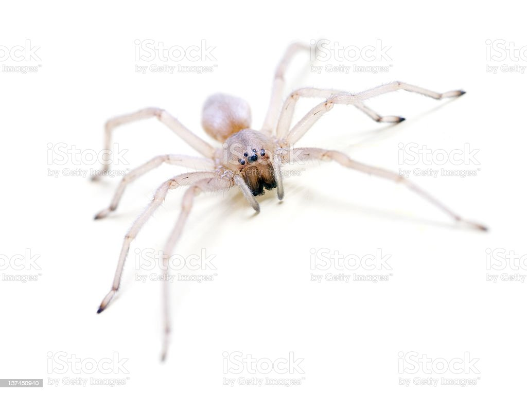 Translucent Spider on white royalty-free stock photo