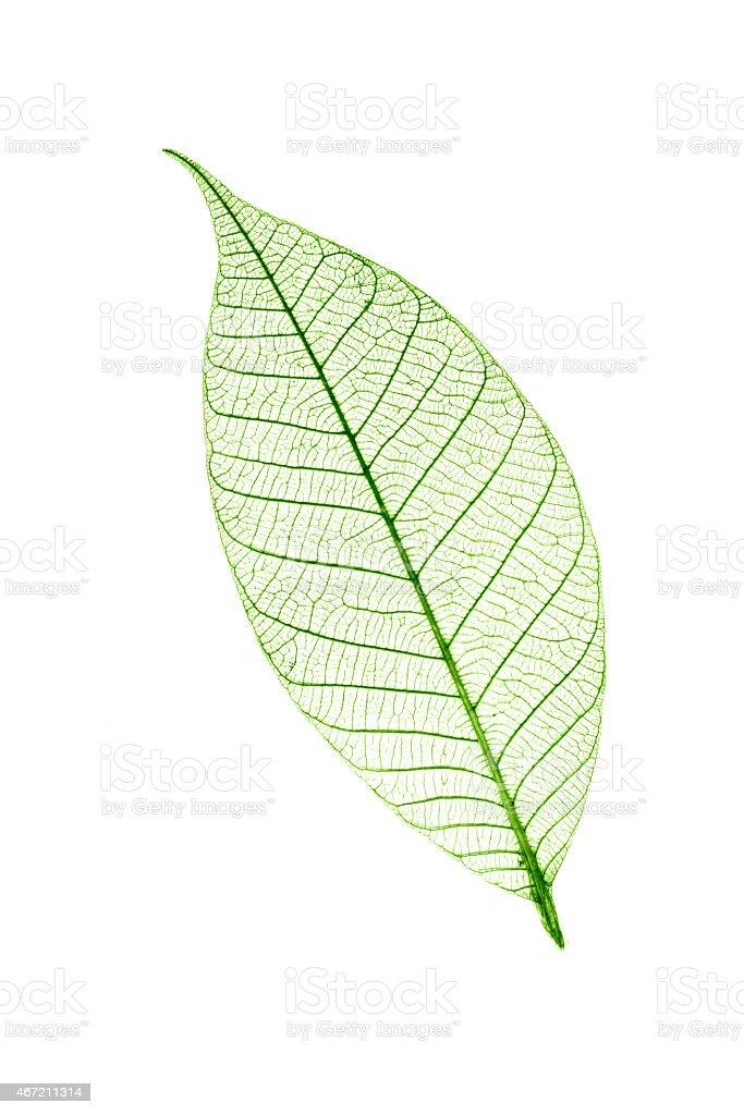 Transparent leaf  isolated on white background stock photo