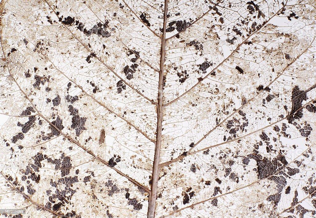 Transparent leaf royalty-free stock photo