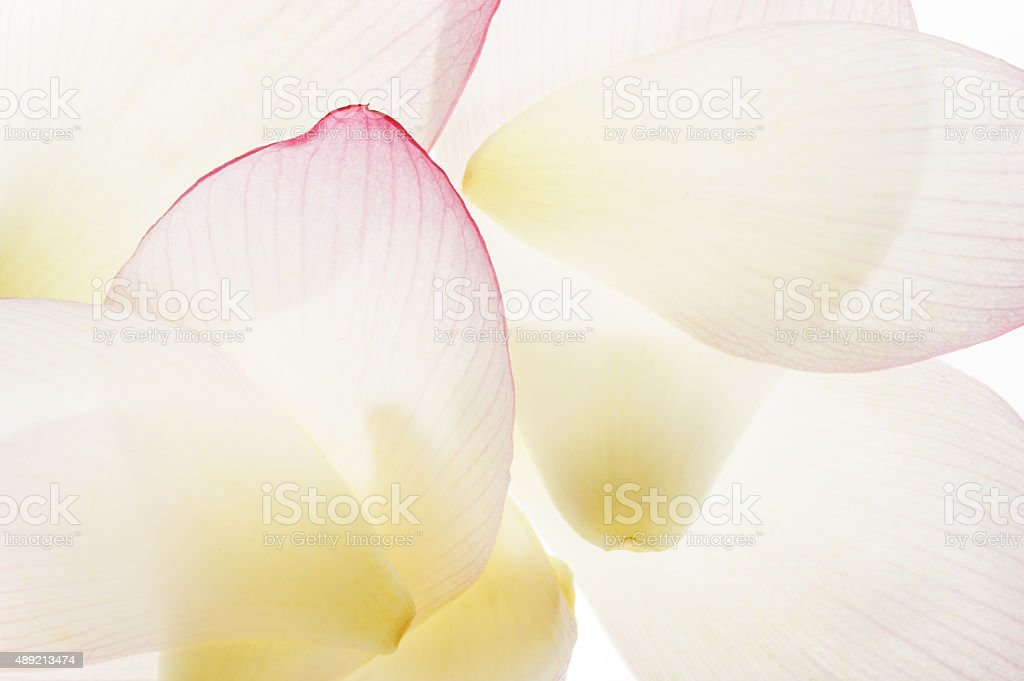 Transparent lotus petals stock photo