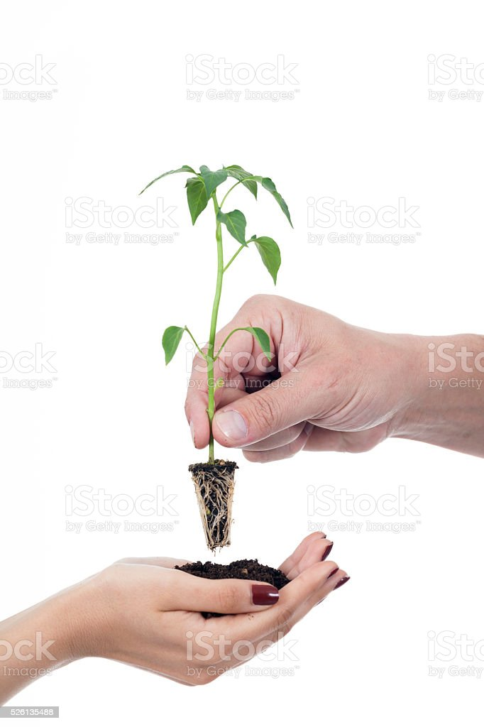 Transplant of a seedling female and man hands stock photo